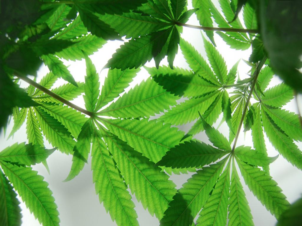 Medical Cannabis Leaves
